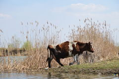 Brown white cow leaving the watering hole Stock Photography