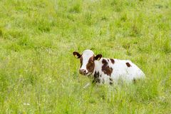 A Brown and White Cow Lying in High Grass. Looking Towards the Camera Stock Image