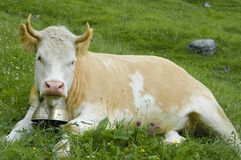 Brown and white cow in mountain pasture Stock Images