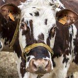 Brown and white cow, race Normande, France. Brown and white cow snout close up , sadness, anger farmers Royalty Free Stock Photos