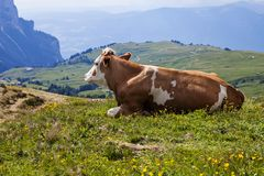 Alpe di siusi in South Tyrol, Italy. Brown and white cow resting on the meadow in Alpe di siusi in South Tyrol, Italy in summer royalty free stock photos