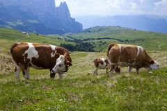 Alpe di siusi in South Tyrol, Italy. Brown and white cow resting on the meadow in Alpe di siusi in South Tyrol, Italy in summer stock photos