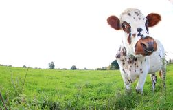 Brown and white spotted cow, breed Normande, France royalty free stock photo