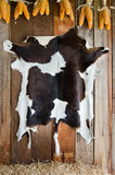 Brown and white cow skin hanging on the wall Stock Image