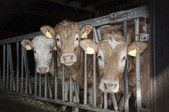 Cows feed in a stable Royalty Free Stock Photos