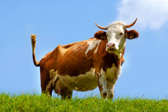 Brown / white cow standing on green field Royalty Free Stock Image