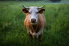 Brown and White Cow Standing on Green Grass Field at Daytime Royalty Free Stock Photography