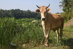 Brown and White Cow Standing on Thick Grass Field Stock Image