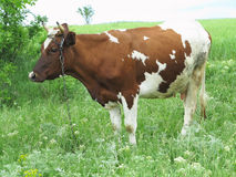 Brown and white cow in summer green pasture meadow Royalty Free Stock Image