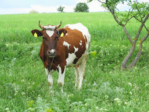Brown and white cow in summer green pasture meadow Stock Image