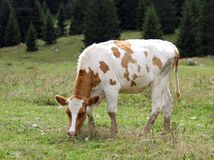 Brown and white cow to pasture GRAZING Stock Photo