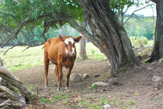 Brown and white cow under a tree in a field Stock Photography