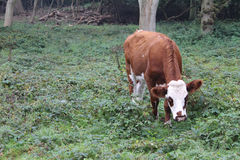 Brown and white cow in woods Royalty Free Stock Images