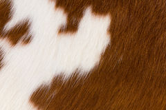 Brown and white cowhide Stock Photography