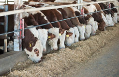 Brown-white cows . Feeding time on the Israeli dairy farm stock photos