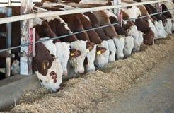Brown-white cows . Stock Photos