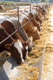 Brown-white cows eating hay Stock Images