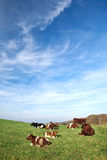 Brown white cows on a farmland Stock Images