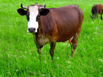 Brown white cows Stock Images