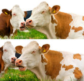 Brown and White Cows Isolated on White Stock Image