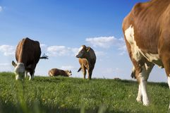Brown and white cows on pasture. Blue sky with white clouds, animals on the meadow stock image