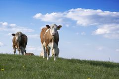 Brown and white cows on pasture. Blue sky with white clouds, animals on the meadow stock photos