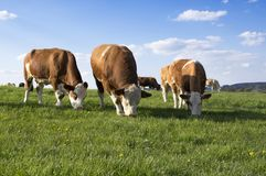 Brown and white cows on pasture. Blue sky with white clouds, animals on the meadow stock photo