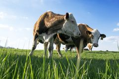 Brown and white cows on pasture. Blue sky with white clouds, animals on the meadow royalty free stock photos