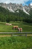 Brown and White Cows Pasturing in Grazing Lands: Italian Dolomit Stock Image