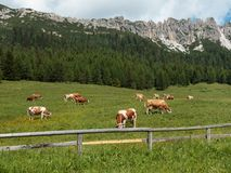 Brown and White Cows Pasturing in Grazing Lands: Italian Dolomit Royalty Free Stock Photo