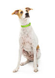 Brown and white crossbreed dog sitting looking up Stock Photos