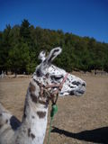 Brown and white curious llama on a dry grass Royalty Free Stock Images
