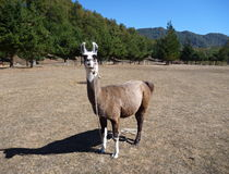 Brown and white curious llama on a dry grass Stock Photo