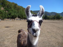 Brown and white curious llama on a dry grass Stock Photography