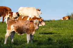 Brown and white dairy cows, calwes and bulls Royalty Free Stock Images