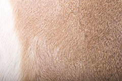 Brown and White Deer Fur Stock Image