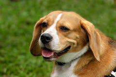 Brown & white dog. Brown & white beagle cross Royalty Free Stock Photo