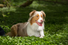 A brown and white dog Royalty Free Stock Images