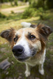 Brown and white dog on green grass. Funny smiling white dog in the mountains. Carpathians, shepherd dog, Ukraine Royalty Free Stock Photos