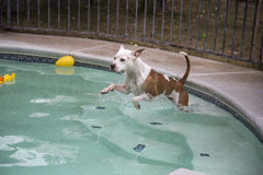 Brown and white dog jumping into pool Royalty Free Stock Photos