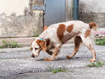 Brown and white dog, slightly scruffy, old and sad, in urban set Royalty Free Stock Photo
