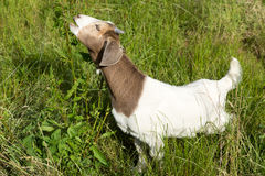 Brown and white domestic goats outdoor on the green grass Stock Photo