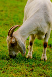 Brown and white domesticated goat Stock Photography