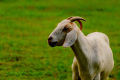 Brown and white domesticated goat Stock Images