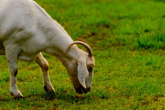 Brown and white domesticated goat Royalty Free Stock Photo