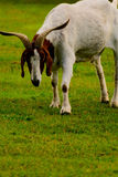 Brown and white domesticated goat Royalty Free Stock Image