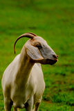 Brown and white domesticated goat Stock Image