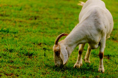 Brown and white domesticated goat Royalty Free Stock Photography