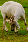 Brown and white domesticated goat Royalty Free Stock Photos