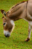 Brown and white donkey Stock Photo